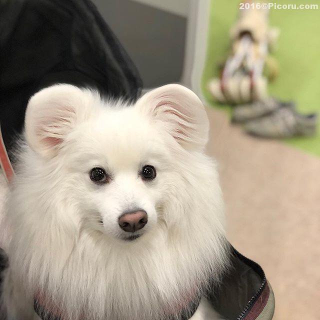 流行ってるみたいだ!耳ッキー#耳ッキー #日本スピッツ#犬バカ#日本犬#spitz