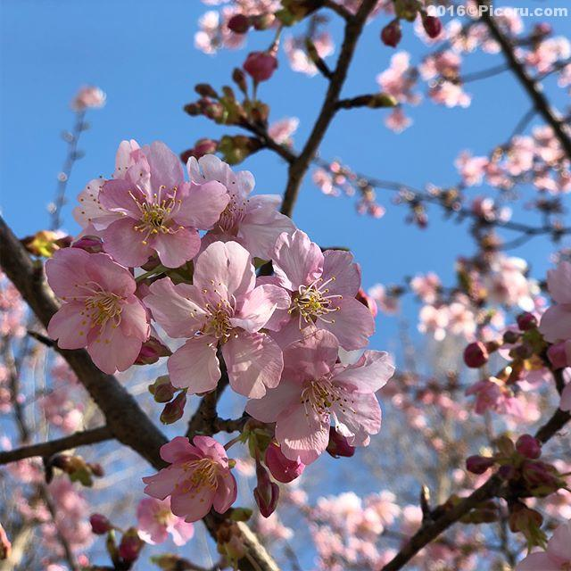 河津桜が咲いてました。