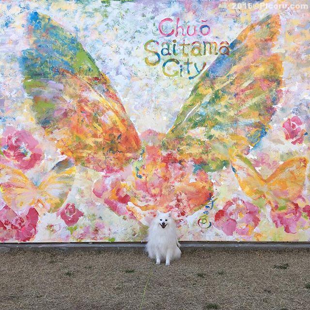 今日相方が中央区に出来たインスタ映えするスポットに行って来てれんくん撮って来た!中央区在住の画家、寿の色(じゅのしき)こと鈴木香奈子さん(28)が、区の依頼を受けてボランティアで制作したらしい。可愛らしい絵ですね!実物休みに見てこようっと!#さいたま市中央区 #日本スピッツ #天使の羽