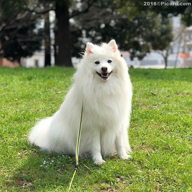 散歩〜桜はもうちょいだね!#日本スピッツ#犬バカ#日本犬#spitz