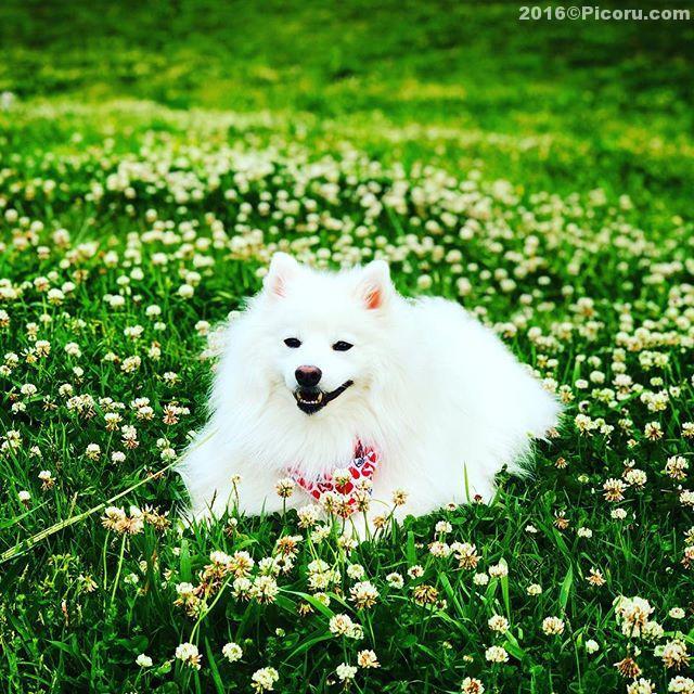 良い写真が撮れた!#日本スピッツ#犬バカ#日本犬#spitz