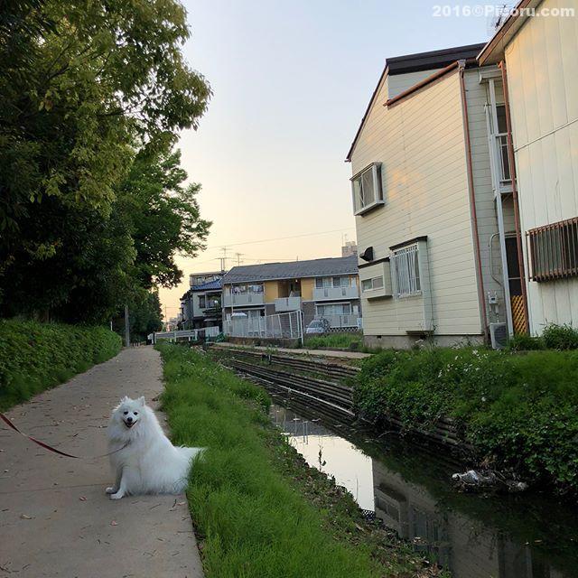 ちょっと涼しくなったので、散歩。#日本スピッツ#犬バカ#日本犬#spitz