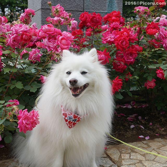 来週の土日は与野バラまつり!その前に空いてる時に来ました。#日本スピッツ#犬バカ#日本犬#spitz
