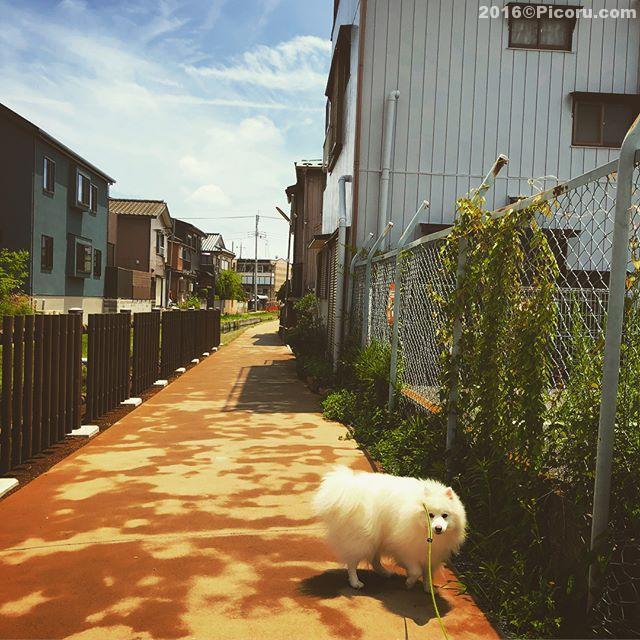 天気が良いので近所を散歩。牛角ビュッフェもうすぐオープンらしい。#日本スピッツ#犬バカ#日本犬#spitz