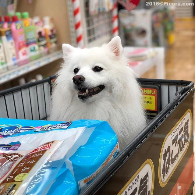 トイレシーツやおやつを買いに!#日本スピッツ#犬バカ#日本犬#spitz