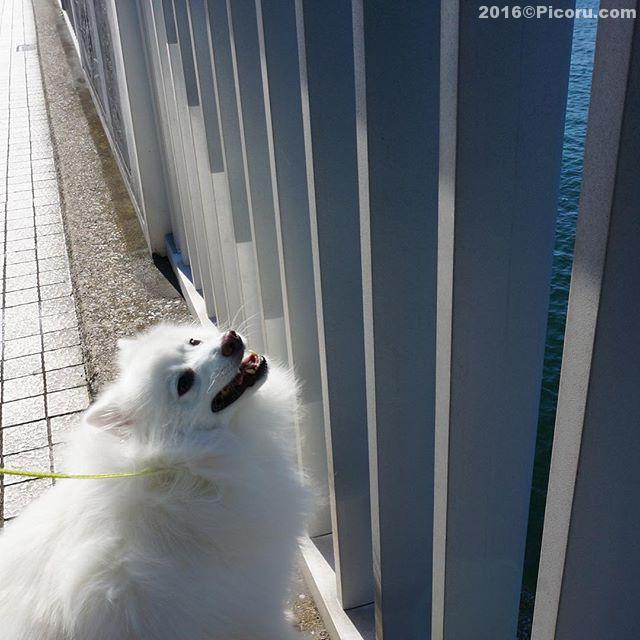 ジェットコースターってすげ〜#日本スピッツ#犬バカ#日本犬#spitz