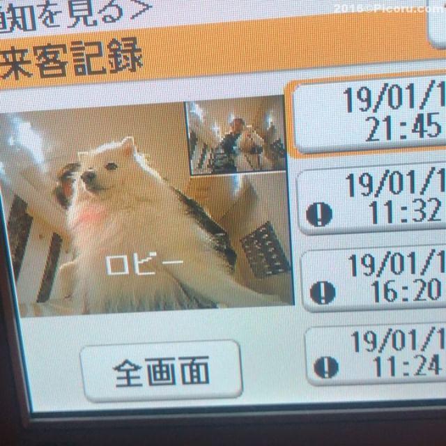 ピンポーンどなたですか?#日本スピッツ#犬バカ#日本犬#spitz