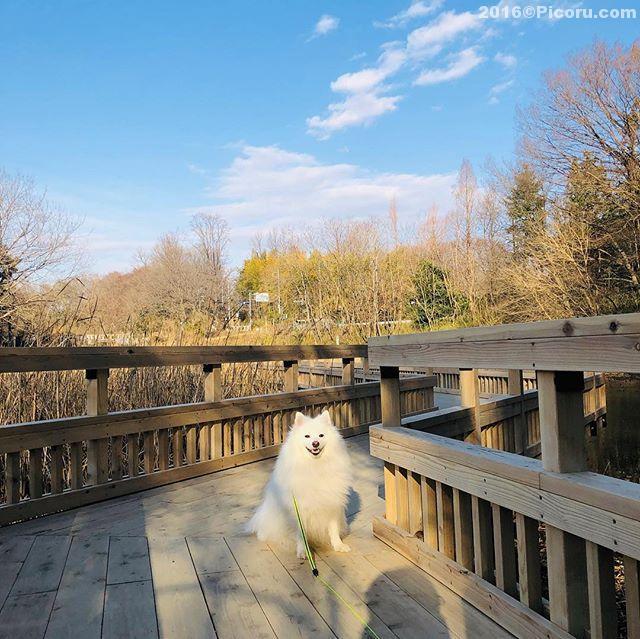 バードウォッチングしながらの〜散歩#日本スピッツ#犬バカ#日本犬#spitz