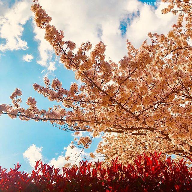 今日は何気に忙しい日。歯医者に行き、髪を切りに行き、新都心から自宅まで散歩?してきました。桜だいぶ咲きましたね〜