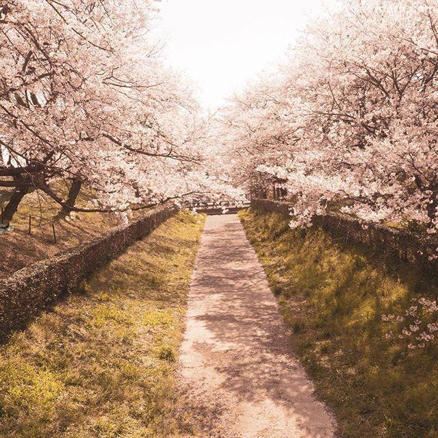 この写真投稿するの忘れてた。#カメラ好きな人と繋がりたい #α7iii #写真好きな人と繋がりたい #キタムラ写真投稿#カメラ初心者 #桜#権現堂桜堤
