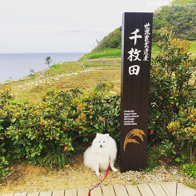 初!千枚田に来ました。#日本スピッツ#日本犬#スピッツ#犬バカ#犬好きさんと繋がりたい #犬なしでは生きていけません会 #犬と暮らす #犬好きと繋がりたい